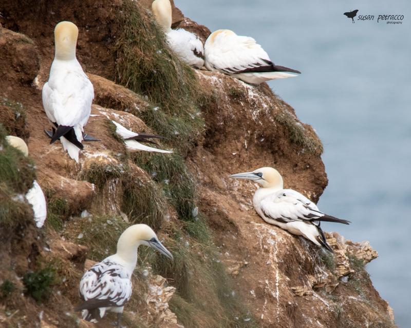 Northern Gannets at Bempton Cliffs, England
