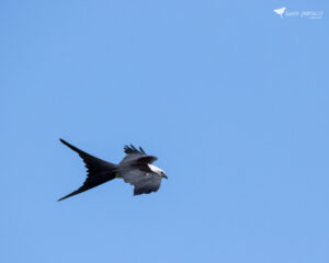 Swallow-tailed kite in flight over Wildwood, Florida