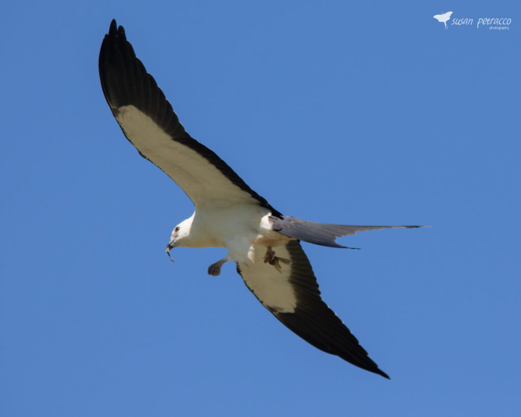 Swallow-tailed kite eating an insect while flying