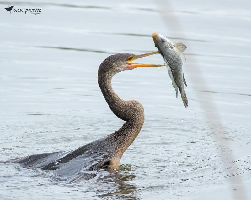 Anhinga with Fish, Viera Wetlands