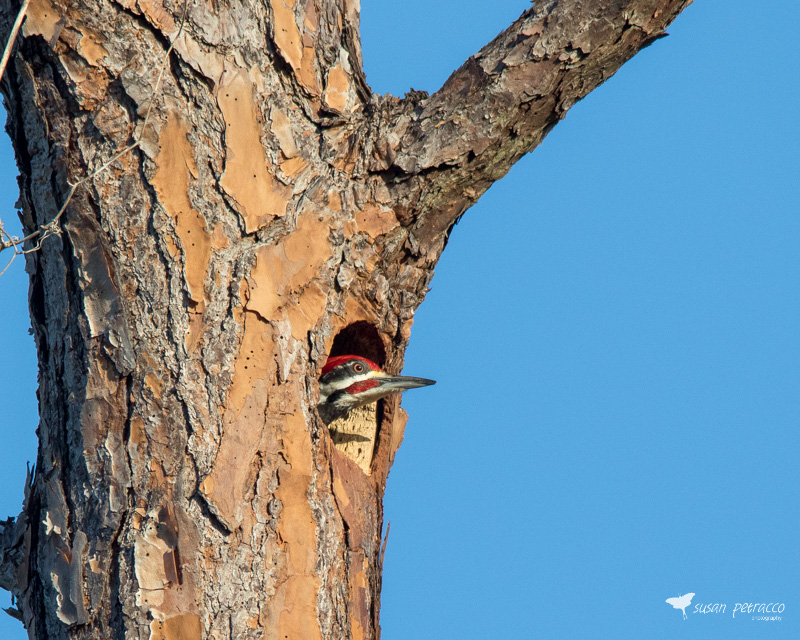A male pileated woodpecker nestling peeking out from his nest