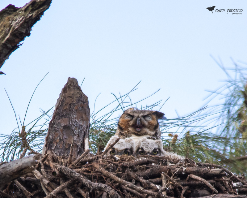 Great-horned owls, parent with two owlets