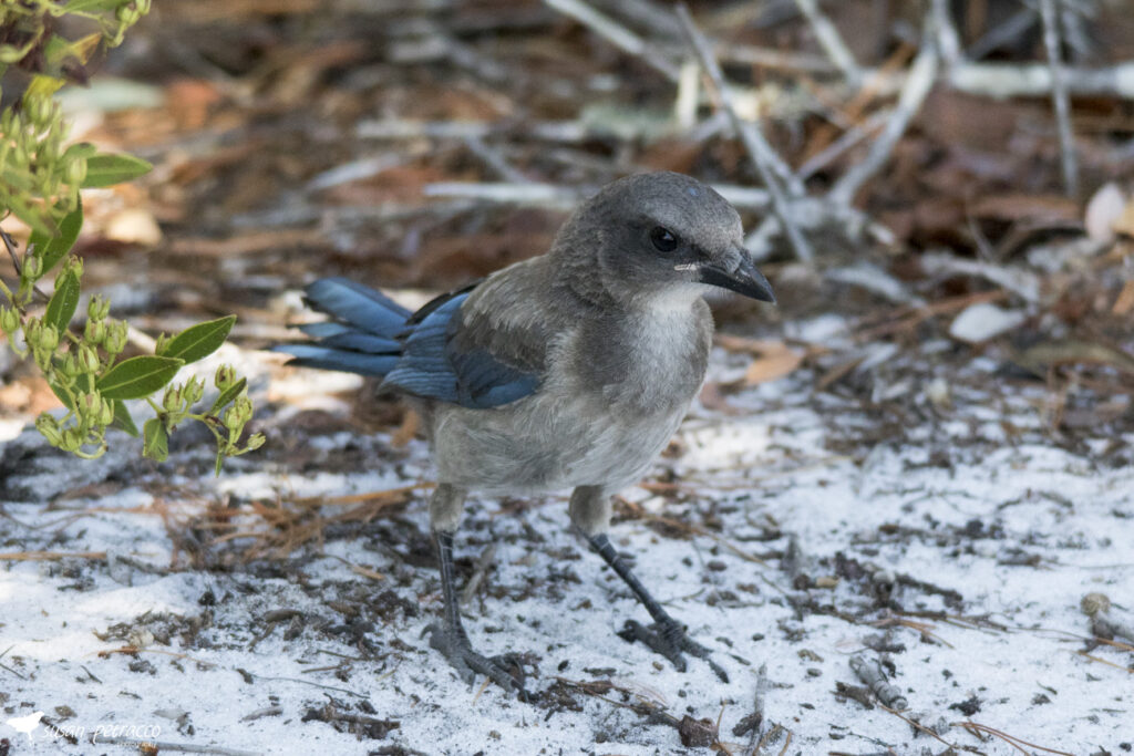 A young scrub-jay, photo also shows the sandy soil common to the scrub habitat