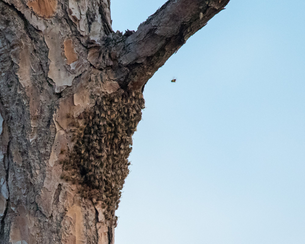 Honey bees building their hive in the former woodpecker nesting cavity