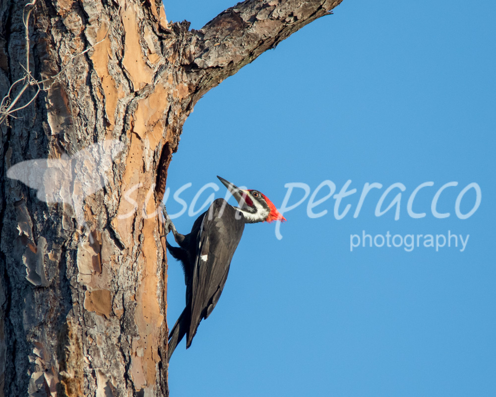 A male pileated woodpecker hanging out at the entrance to his cavity
